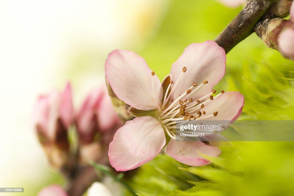 Spring flower : Stock Photo