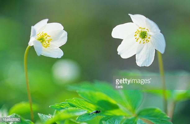 Frühling Blüte, Buschwindröschen