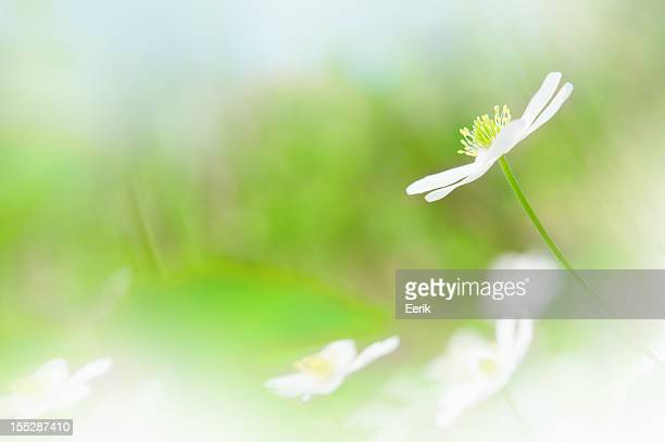 Spring flower, Wood anemone