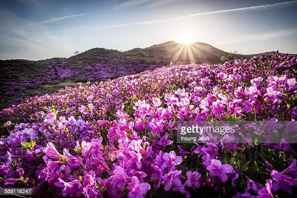 Spring flowers at the Hwangmaesan Mountain