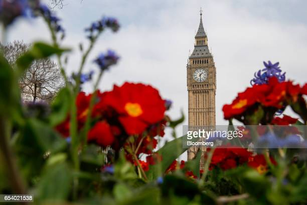 Spring flowers bloom in Parliament Square near to Elizabeth Tower commonly referred to as Big Ben and the Houses of Parliament in London UK on...