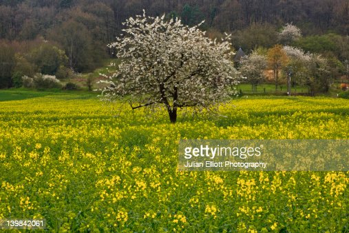 Spring flowers in full blossom in a tree surround by a field of rapeseed. This particular one was to be found near to Chinon in France. Chinon itself is a part of the UNESCO protected Loire Valley.