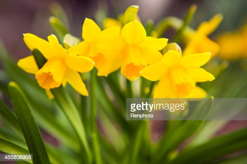Spring Flowers: Yellow Daffodils