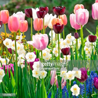 Spring garden: Tulips, daffodils, muscari flowers - VIII