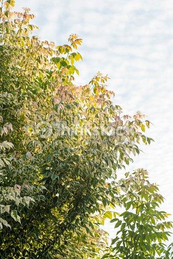 Spring Green Of Acer Negundo Flamingo And Blue Sky Of Scales Cloud