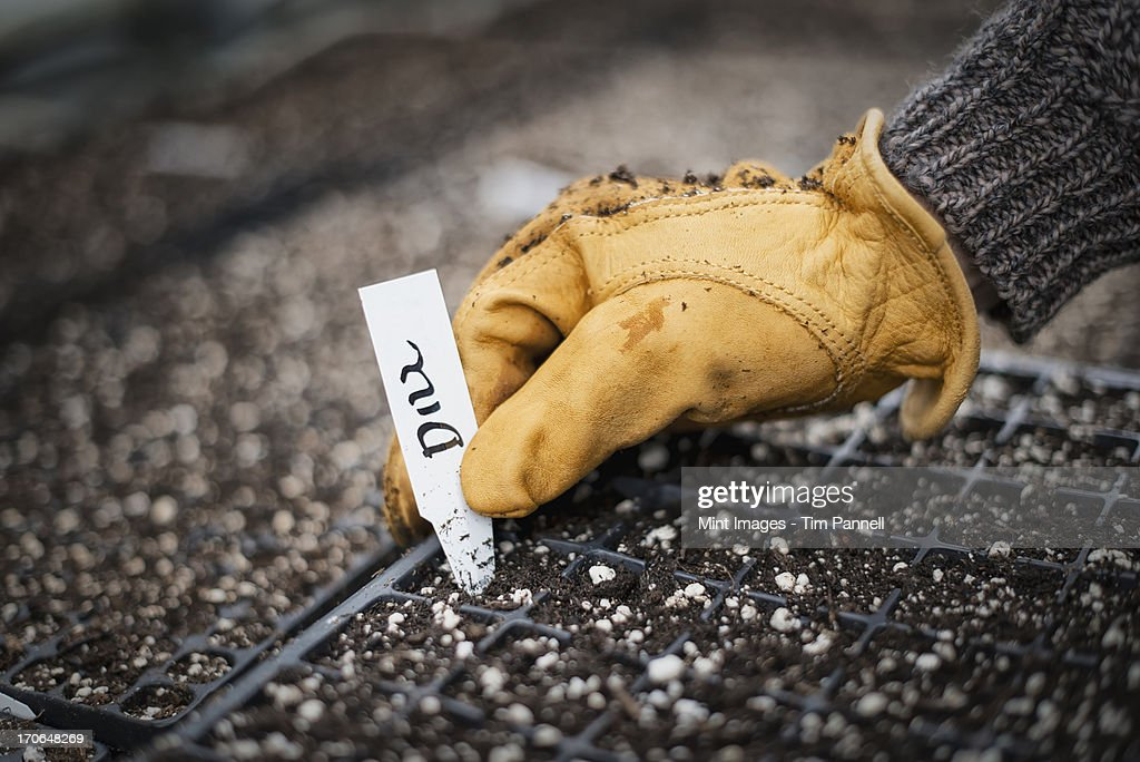Spring growth in an organic nursery. Planting and labelling seed. : Stock Photo