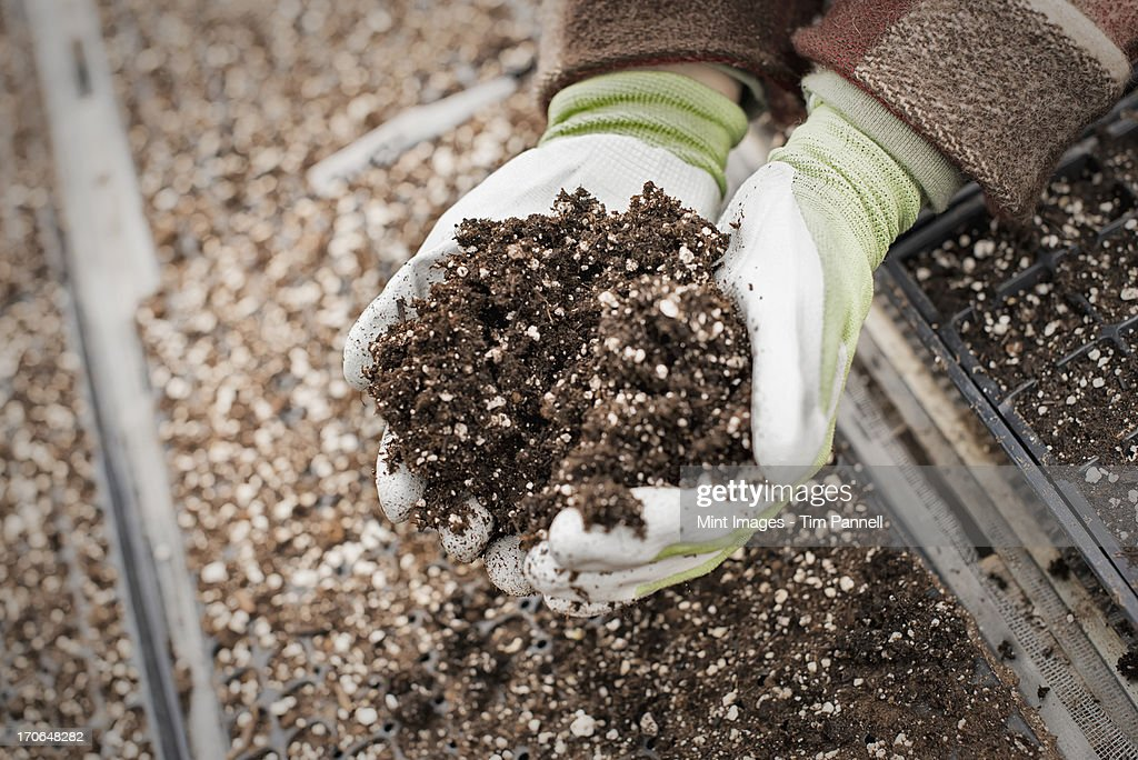 Spring growth in an organic plant nursery. A person holding a handful of organic soil. : Stock Photo