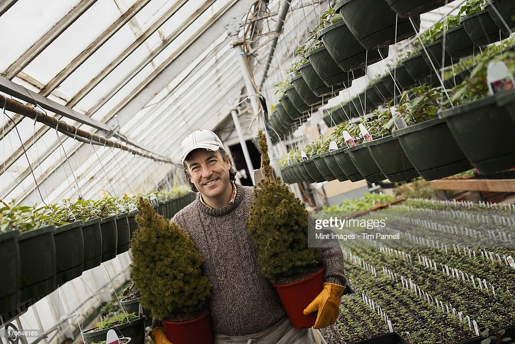 Spring growth in an organic plant nursery glasshouse. A man holding two young conifer shrubs in pots. : Stock Photo