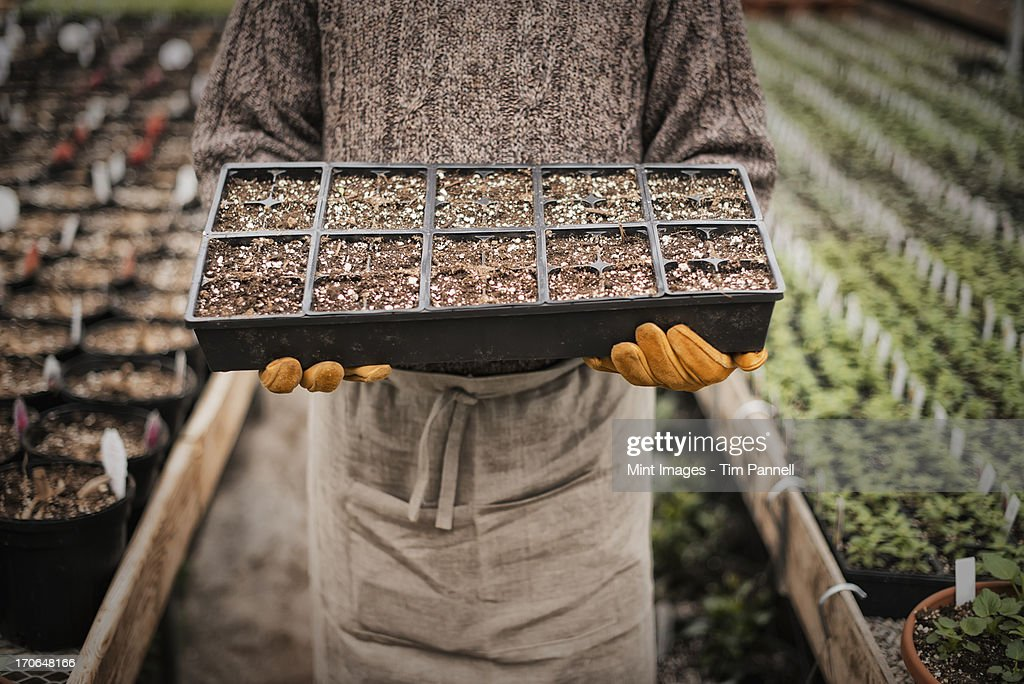 Spring growth in an organic plant nursery glasshouse. A man holding trays of young plants and seedlings. : Stock Photo