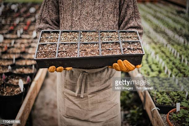 Spring growth in an organic plant nursery glasshouse. A man holding trays of young plants and seedlings.