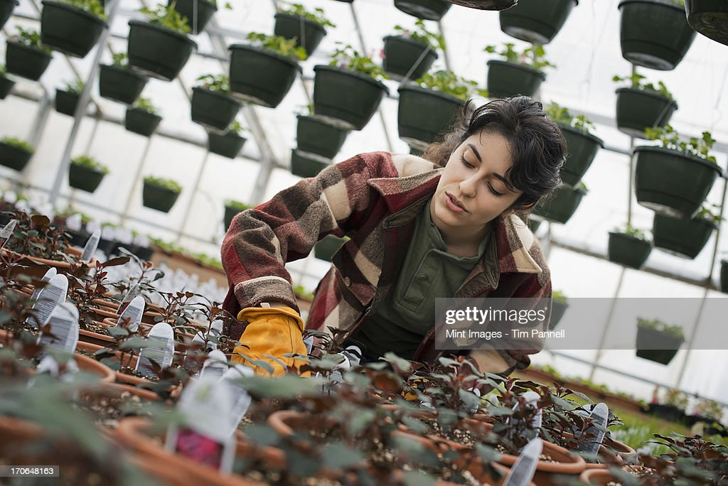 Spring growth in an organic plant nursery glasshouse. A woman working, checking plants and seedlings. : Stock Photo
