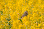 a bird surrounded by rape flower