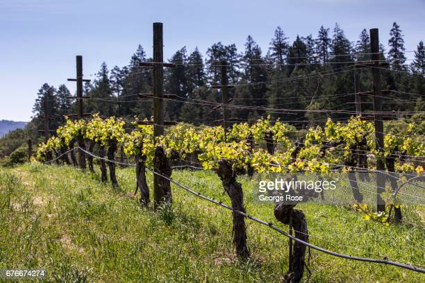 Spring has finally arrived at Benziger Family Winery as viewed on April 23 in Glen Ellen California After record winter rainfall battered the North...