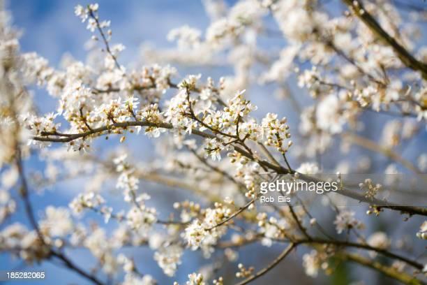 Printemps fleur Howthorn