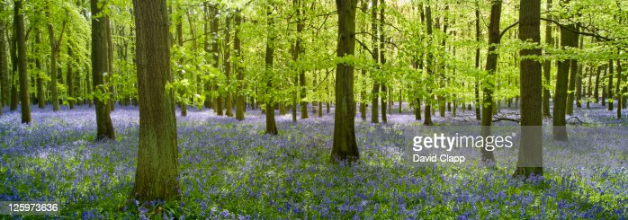 Spring in a bluebell woodland in Buckinghamshire, England, UK, Europe : Stock Photo