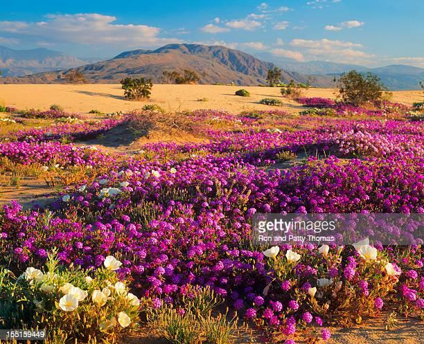 Spring In California Desert