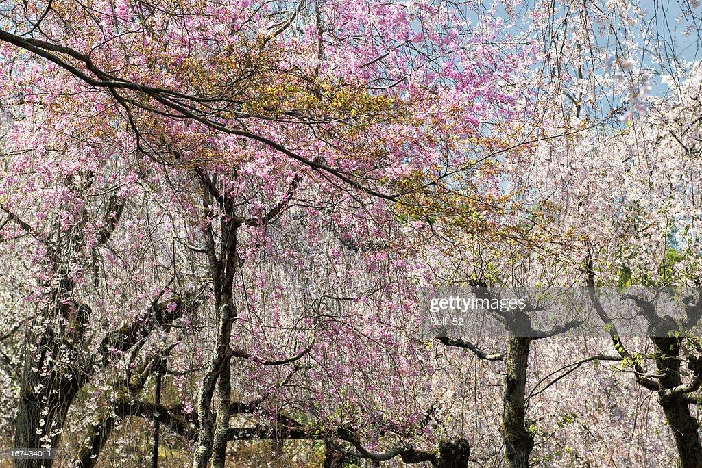 Primavera no Japão : Foto de stock