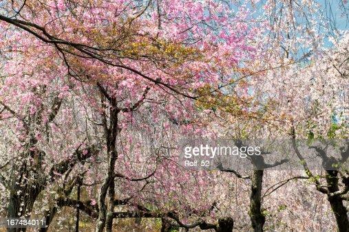 Primavera en Japón : Foto de stock
