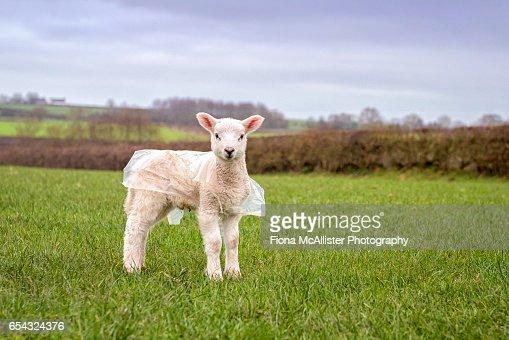 Spring Lamb In Protective Raincoat : ストックフォト