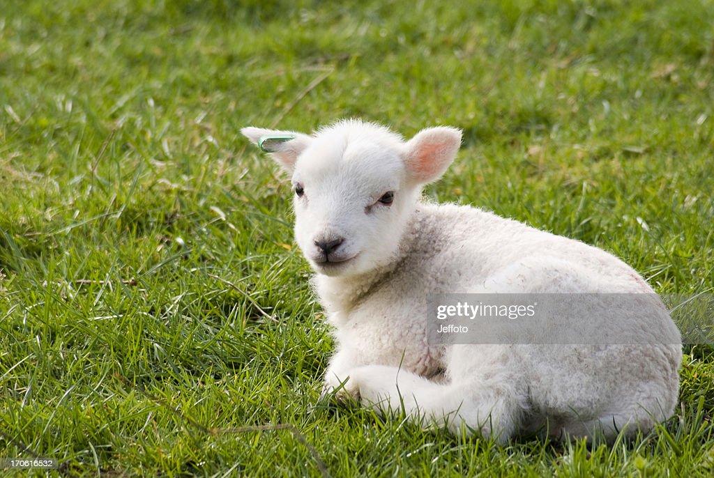 Spring lamb resting in field