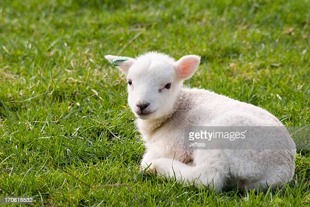 Spring lamb resting in field