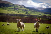 A couple of Welsh spring lambs beneath the Pen y Fan mountain range