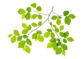 Beech leafs on white background.File Size XXXL
