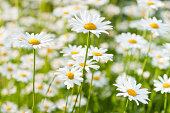 spring meadow wiht marguerite daisy
