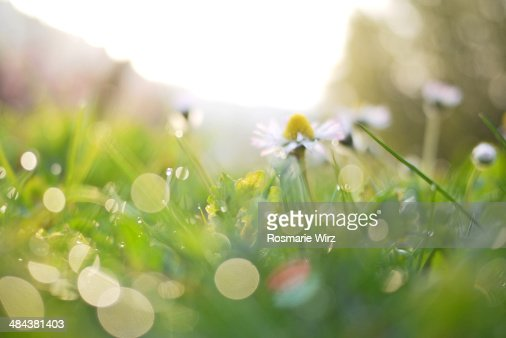 Spring meadow with daisy