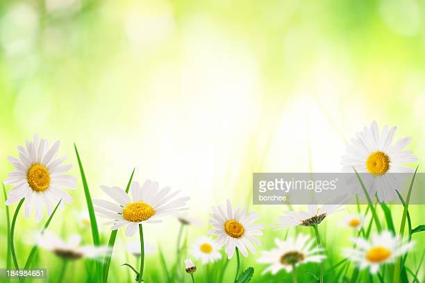 Spring Meadow With Golden Daisies