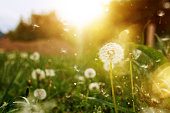 dandelion flower in the sunlight in spring day, horizontal shot, nature background.