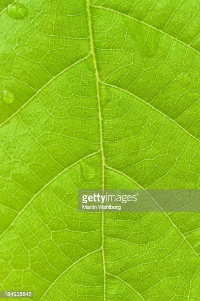 Spring oak leaf close up