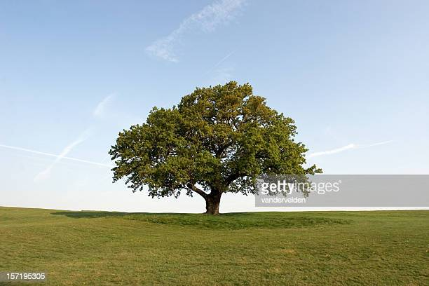 Spring Oak Tree set on a green field with clear blue skies