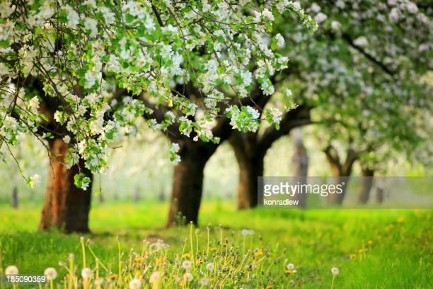 Orchard, des arbres en fleurs du printemps
