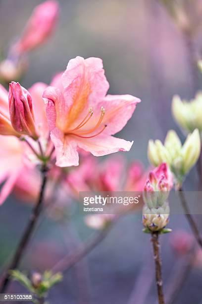 Spring pink azalea flower, selective focus
