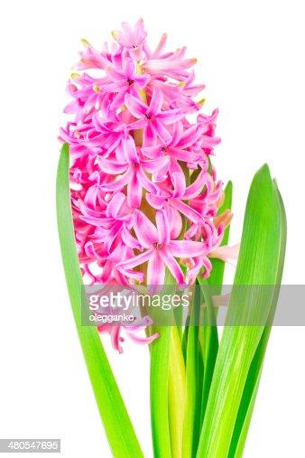 Jacinto-de-rosa Primavera isolado sobre fundo branco : Foto de stock