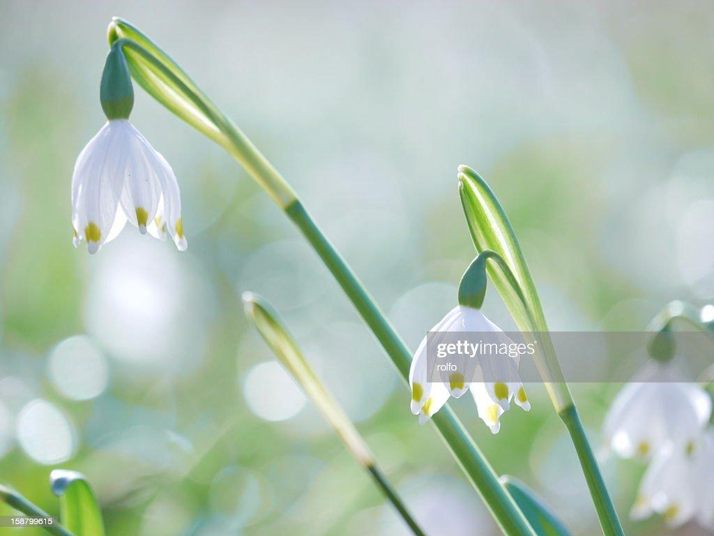 Spring Snowflake (Leucojum vernum) : Stock Photo