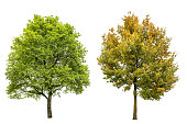 Spring, summer and autumn oak tree isolated on white background. Nature object