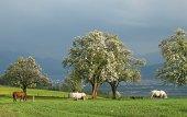 Spring Sunlight on apple tree field