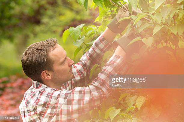 Spring time, pruning a hedge