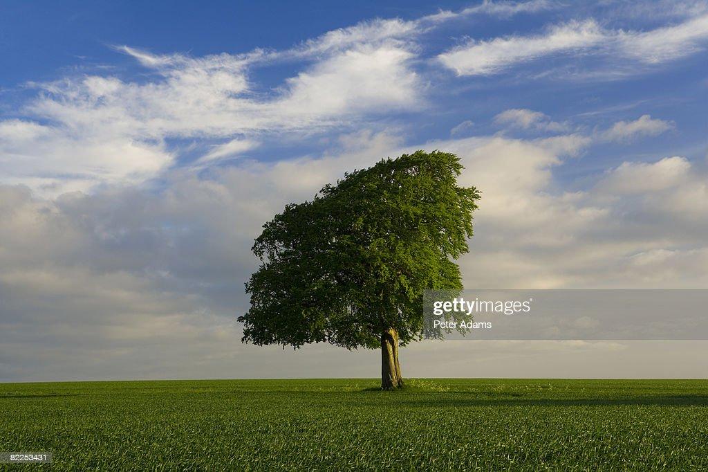 Spring tree, UK : Stock Photo
