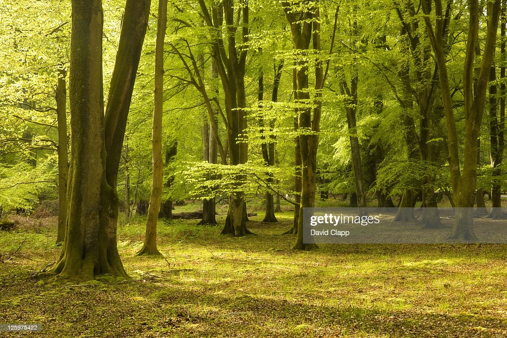 Spring trees in the New Forest, Hampshire, England, UK, Europe