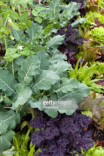 Spring Vegetable Produce Garden, Gardening & Growing Lettuce Greens