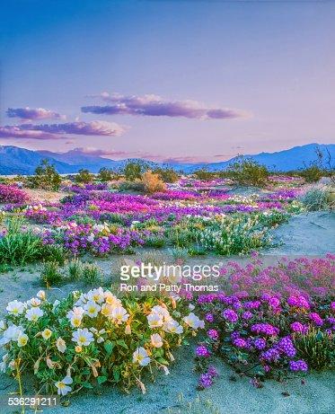 Spring wildflowers Anza Borrego Desert State Park, California
