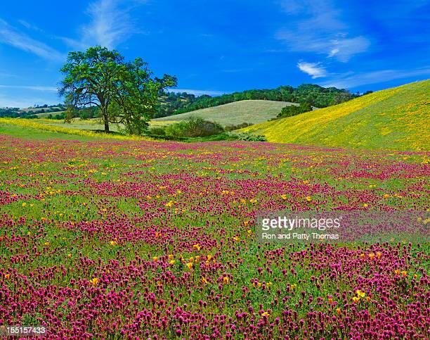 Spring Wildflowers In California