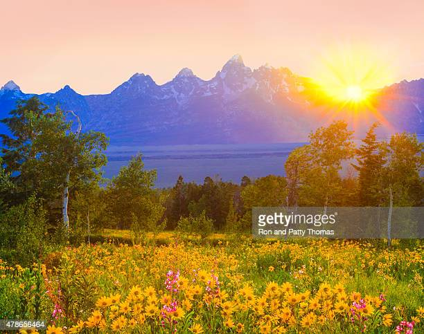 wildflowers de Primavera na Parque nacional de Grand Teton, no Wyoming