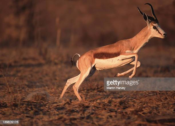 Springbok, Antidorcas marsupialis, Etosha National Park, Namibia, Southwestern Africa..
