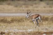 Springbok -Antidorcas marsupialis-, Etosha National Park, Namibia, Africa