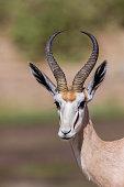 Springbok -Antidorcas marsupialis-, Hoarusib, Kaokoland, Namibia