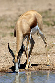 Springbok drinking at waterhole in the Kalahari desert Kgalagadi Transfrontier Park South Africa